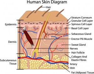 Diagram-of-the-Human-Skin